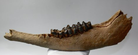 Bison priscus partial jaw (400 mm) SOLD (PA) 09