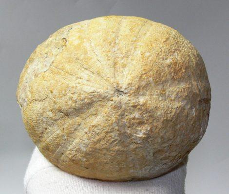 Conoclypeus conoideus from Úrkút