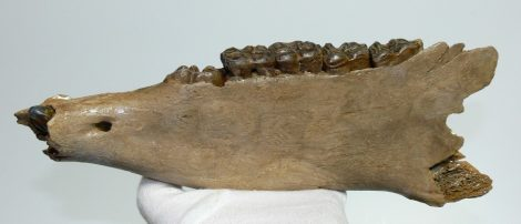 Equus sp. partial jaw (324 mm)