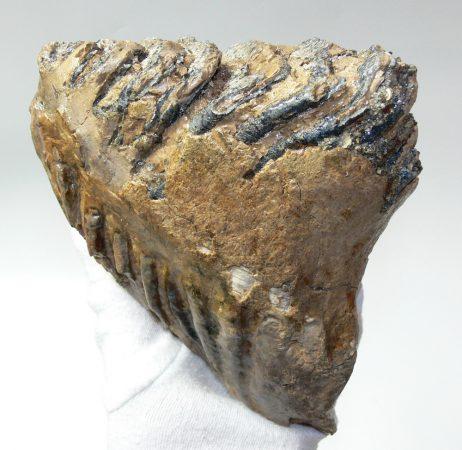 Mammuthus primigenius tooth (1278 grams)