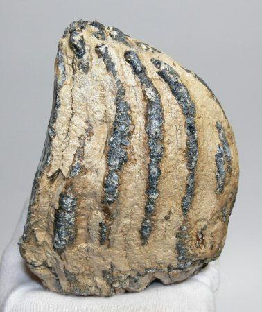 Mammuthus sp. részleges mamut fog (1232 gramm)