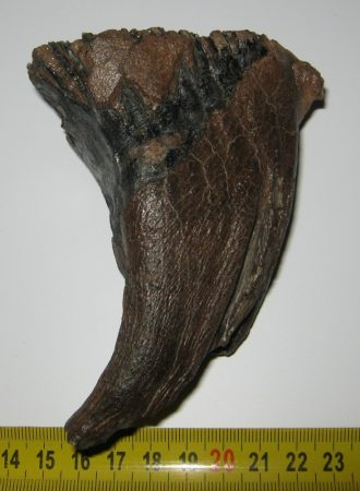 Mammuthus primigenius molar (83 mm) Woolly mammoth tooth SOLD (LL) 01