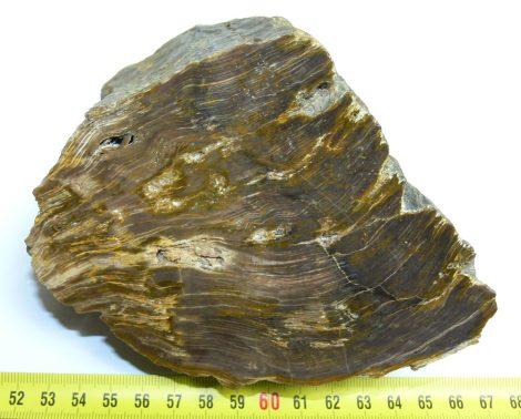 polished petrified wood from Hungary, Délegyháza (1385 grams)