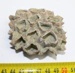 Balanus sp. kacslábú rák telep Pest megyéből