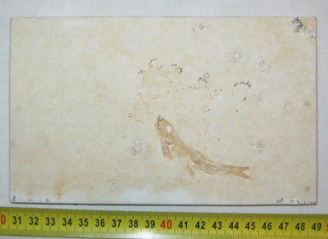 Jura korú Leptolepites sprattiformis hal kövület Németországból  ELFOGYOTT (VK) 10