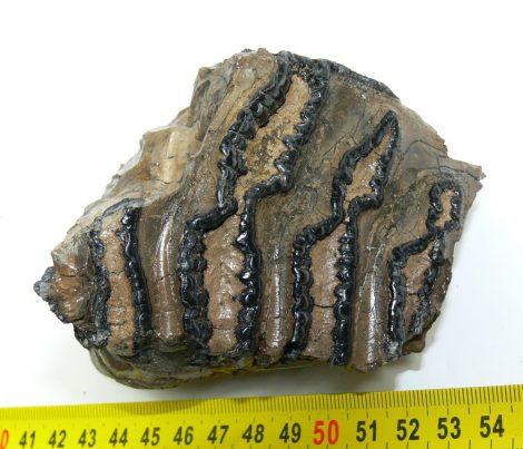 Mammuthus meridionalis részleges fog (526 gramm)