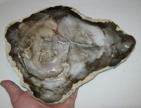 Agat Wood fossil from Brazilia (255 mm)
