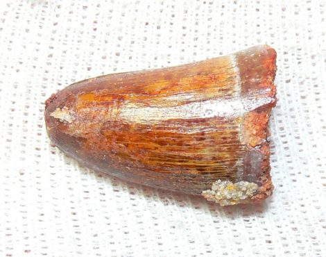Elosuchus cherifiensis tooth from Taouz