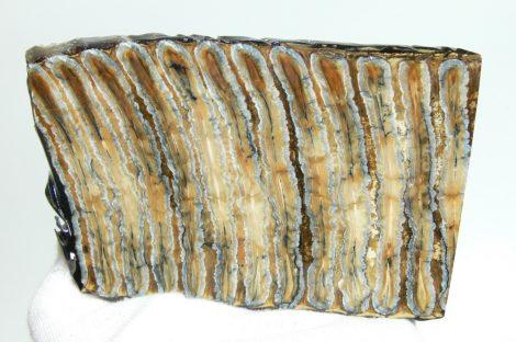Stabilizált gyapjas mamut fog szelet (133 mm x 85 mm x 7-8 mm)
