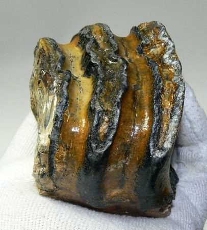 Mammuthus meridionalis partial tooth (560 grams)  SOLD (LL B) 04