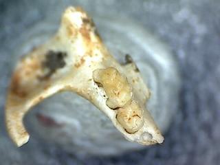 Apodemus cf. dominans partial maxilla SOLD (RR) 04
