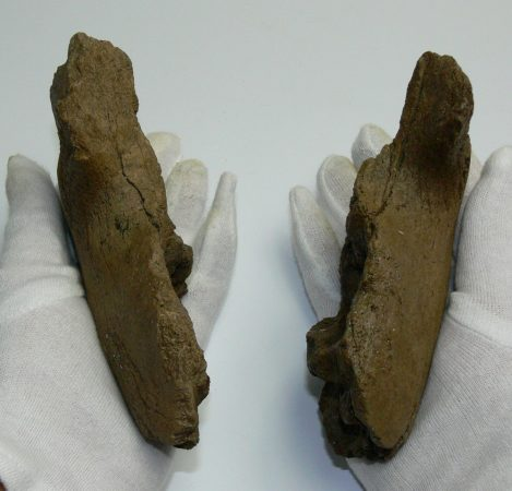 Young mammoth partial jaw bone