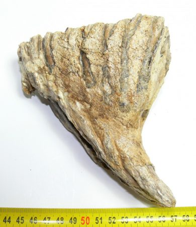 Mammuthus primigenius tooth (893 grams)