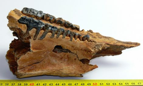 Sus sp. partial skull (220 mm) SOLD KH 04