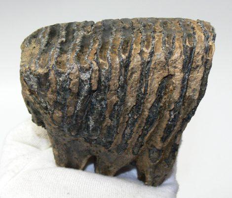 Mammuthus primigenius részleges fog (732 gramm)