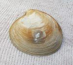 Pitar polytropa kagyló kövület