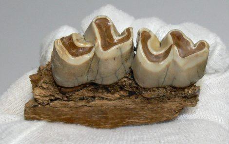 Miocene age Rhinoceros partial jaw (78 mm)