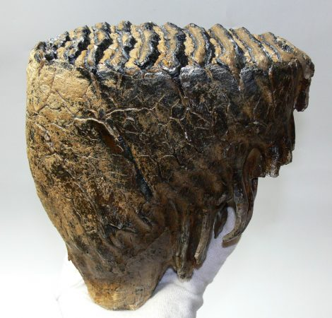 Mammuthus primigenius tooth (3140 grams) Woolly mammoth molar