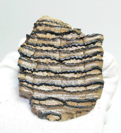 Mammuthus primigenius részleges fog (232 gramm)
