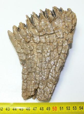 Mammuthus primigenius részleges fog (444 gramm)  ELFOGYOTT (LL B) 04