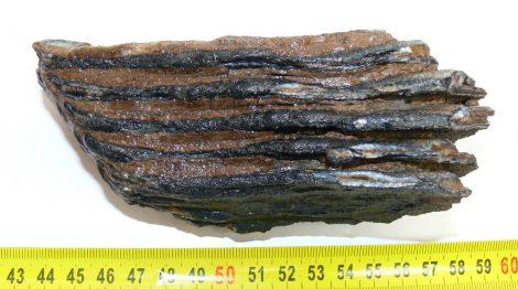 Mammuthus primigenius részleges fog (545 gramm)