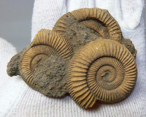 Dactylioceras athleticum ammonitesz  csoport Németországból