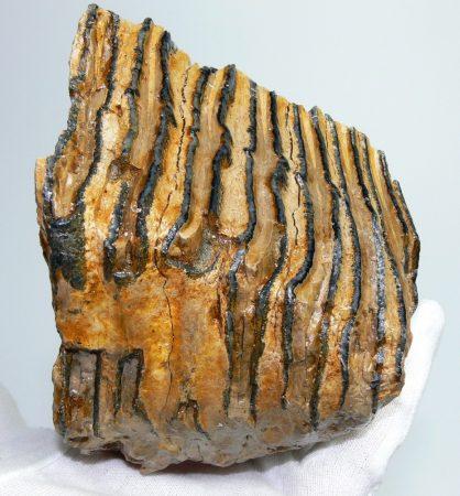 Mammuthus primigenius részleges fog darab (882 gramm)