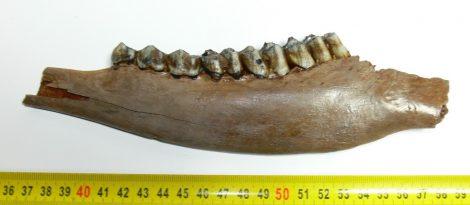 Cervus elaphus partial jaw (228 mm)  red deer