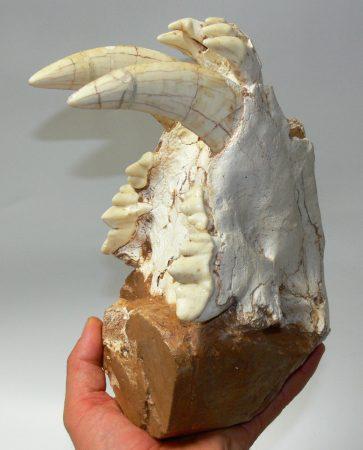10 million year old Homotherium skull on rock
