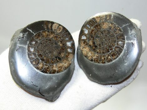 Polished Dactylioceras ammonites in pairs from England (298 grams)