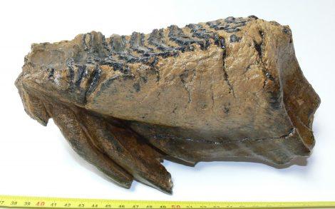Mammuthus primigenius tooth (1601 grams)