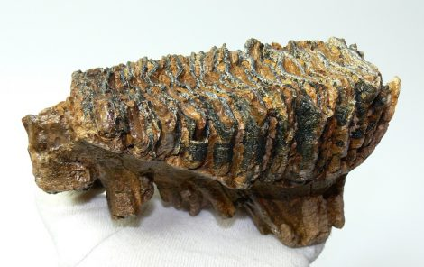 Mammuthus primigenius tooth (854 grams) woolly mammoth molar