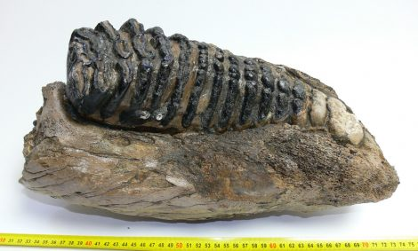 Mammuthus meridionalis partial jaw (10,5 kg) Southern mammoth mandible
