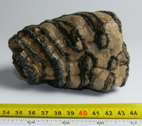 Mammuthus meridionalis tooth (730 grams) Southern mammoth molar