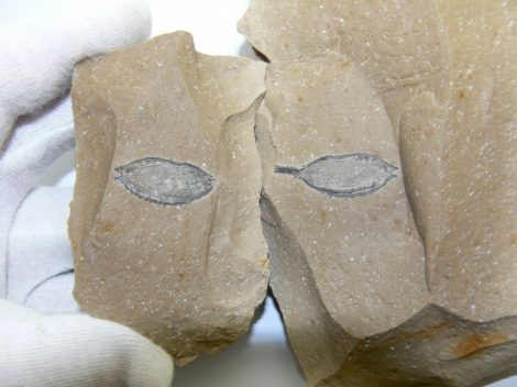 Podocarpium podocarpium crop fossil pair from Hungary