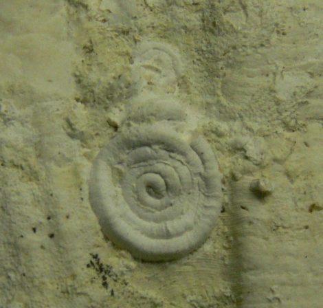 Serpula Spirorbidae Bryozoa maradványos Pecten kagylókövület