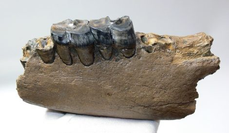 Stephanorhinus sp. rhinoceros partial jaw (201 mm)