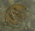 Declivolithus titan trilobita kövület Marokkoból
