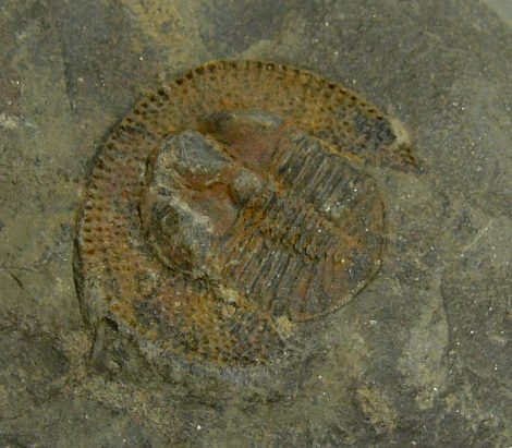 Declivolithus Titan trilobit from Tafilalt