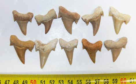 Otodus obliquus 10 pieces shark tooth from Morocco