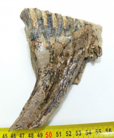 Mammuthus primigenius complete tooth (450 grams)