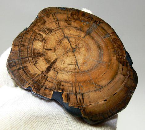 Stabilizált mamut agyar szelet (107 mm)