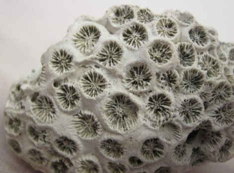 Miocene Tarbellastraea sp. Coral from Hungary