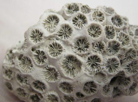 Miocén korú Tarbellastraea korall kövület