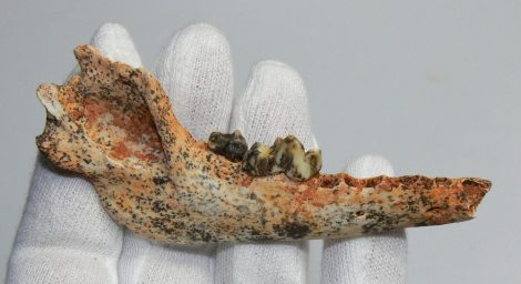 Canis martelinus partial jaw from Hungary  SOLD KH