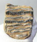 Mammuthus sp. részleges fog (488 gramm)