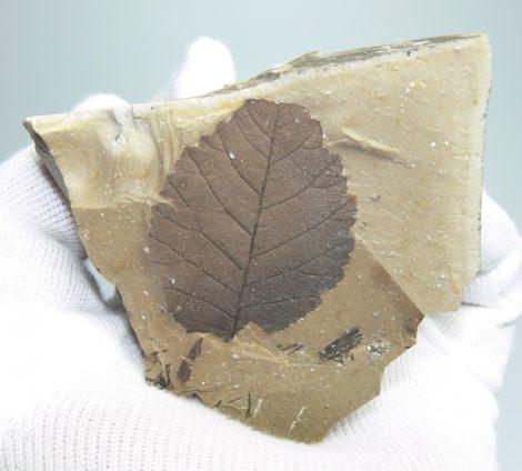 Betula sp. levéllenyomat Erdőbényéről