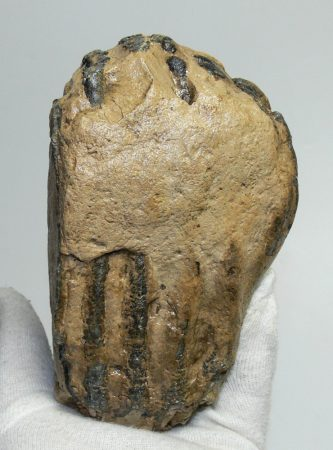 Mammuthus sp. partial tooth (1615 grams)