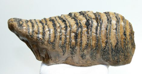 Mammuthus primigenius tooth (998 grams) Woolly mammoth molar
