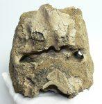 Mammuthus meridionalis partial sacrum vertebra (3545 grams)